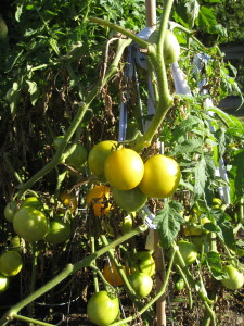 Ripe Yellow Tomatoes