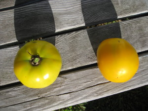 Unripe red & Ripe Yellow Tomatoes