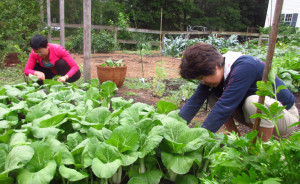 2015_09_12 harvesting bok choy
