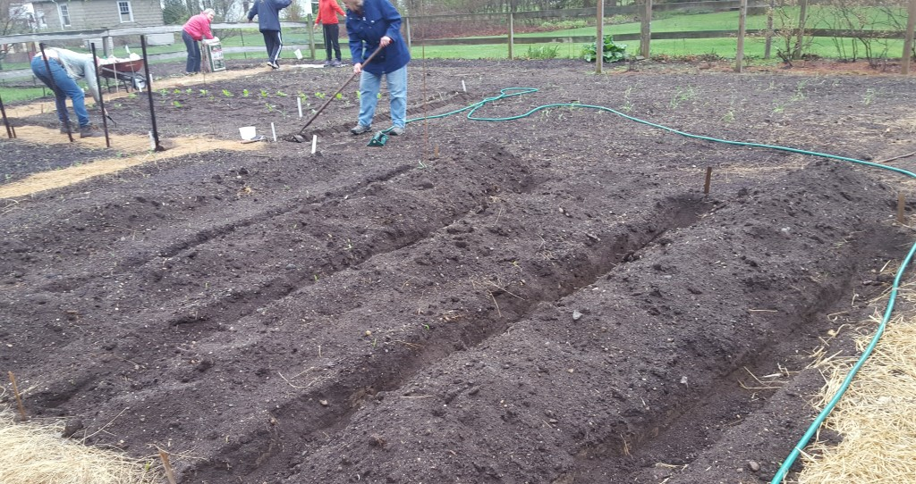 Potatoes were planted here in the gullies of the hill piles above. Each week volunteers will check to see if the potato plants have started to poke through the soil. If yes, they will be buried again with the soil from the hillocks beside them.